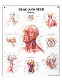 Head and Neck Chart 20&#34 x 27&#34 Photo
