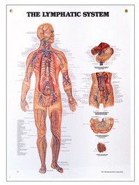 Lymphatic System Chart 20&#34 x 27&#34 Photo