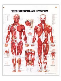 Muscular System Chart 20&#34 x 27&#34 Photo