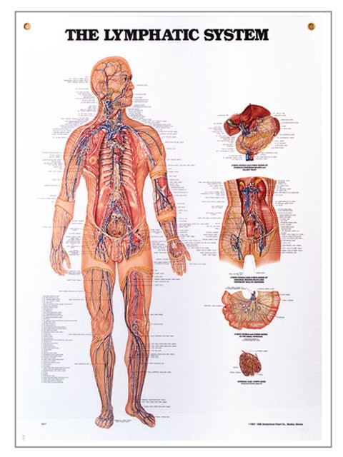 Lymphatic System Chart  X
